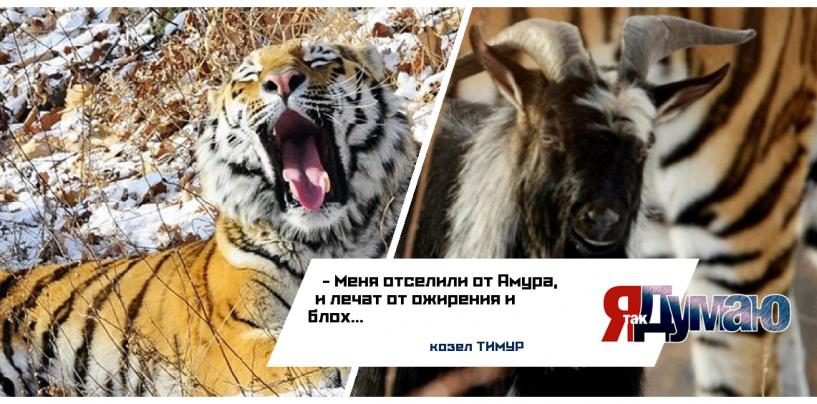 Амур и Тимур расстались. У тигра — любовь, у козла — ожирение.